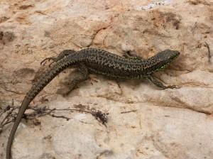 ...ďalšia samička Iberolacerta monticola cantabrica.