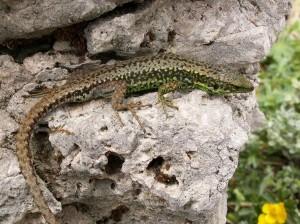 ...samec Iberolacerta monticola cantabrica.