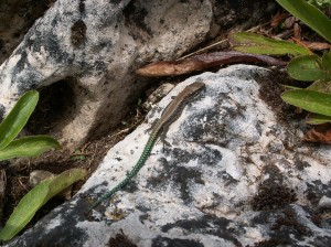 ...mláďa Iberolacerta monticola cantabrica.