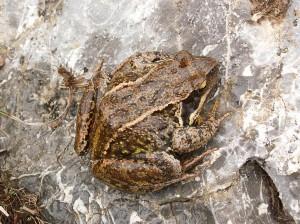 Skokan hnedý ( Rana temporaria ), našli sme ho v daždi pri spiatočnej cste.