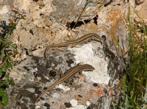 Hore jašterica múrová ( Podarcis muralis ), dole jašterica Podarcis guadarramae lusitanicus.