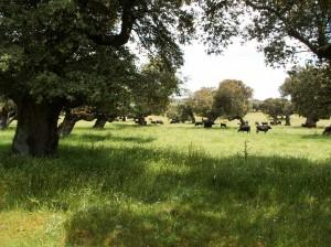 Krásné duby, ale za plotom. Človek si neodpočinie v ich tieni.