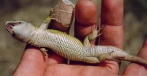 ...samec jašterice krátkohlavej ( Lacerta agilis ), Martinstein. 03.08.2003...agil2