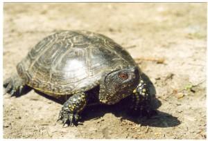 ...korytnačka močiarna, prechádzala cez cestu pri Dunaji, kde ju prešiel džíp, odletelaasi o 6-7 m ale prežila bez poranenia, Baja...