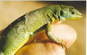 ...samička jašterice zelenej Lacerta bilineata...
