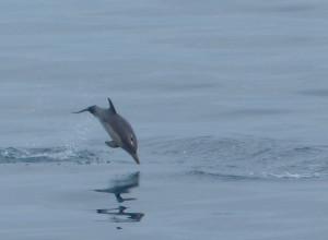 V Čiernom mori skákali dva druhy delfínov: Phocoena phocoena a Delfinus delfis.